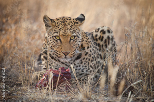 Canvas Prints Leopard Leopard in Namibia