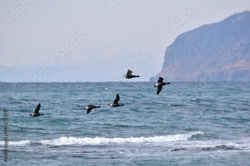 函館山をバックに飛ぶコクガン