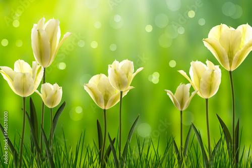 weiße tulpen im frühling