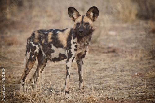 Photo  African Wild Dog