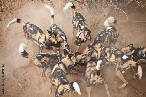 Photo  African Wild Dogs