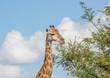 Giraffe at the Kruger National Park, South Africa