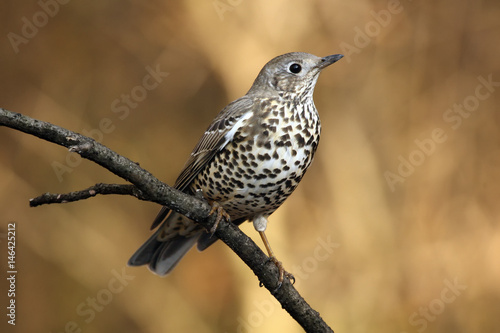Fotografie, Obraz The mistle thrush (Turdus viscivorus) sitting on the branch with brown backgroun