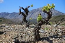 Pied De Vigne Au Printemps, Fenouillèdes, Pyrénées Orientales Dans Le Sud De La France