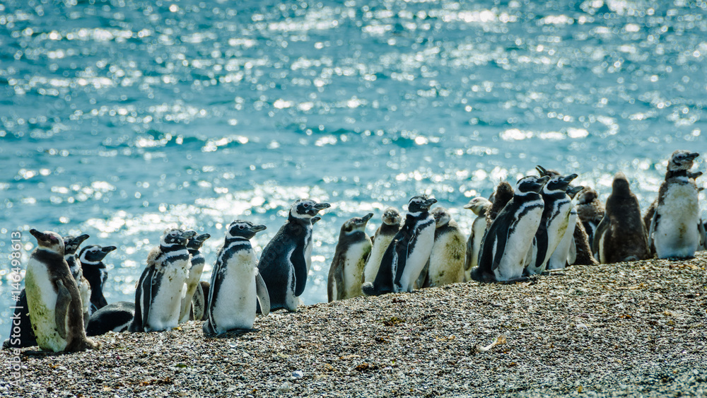 Young Magellanic penguins in the various state of molting sit on the shores of the Atlantic Ocean off the coast of Patagonia in Argentina.