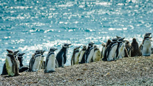 Young Magellanic Penguins In T...