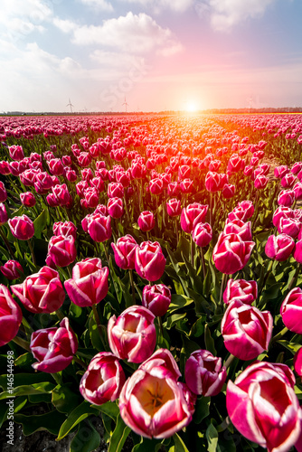 Sunset above the field of tulips Wallpaper Mural