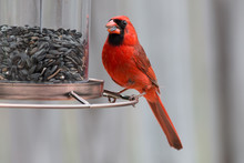 A Cardinal Red Bird Eating See...