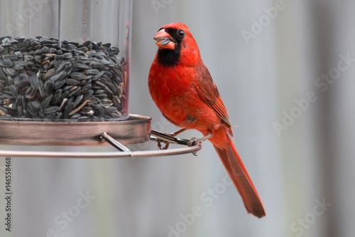A Cardinal red bird eating seed at a bird feeder. Wallpaper Mural