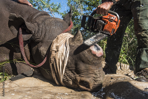 dehorning black rhinos Rhino horn dehorning did you know what is rhino horn made of  they could not detect any negative effect on the social behaviour of the dehorned rhinos.