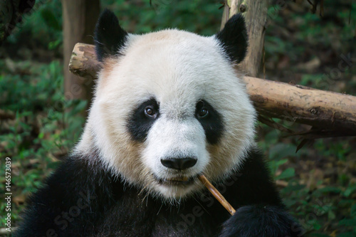 Deurstickers Panda Giant panda eating bamboo