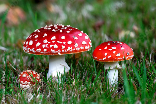 Photo Red Amanita muscaria mushrooms in a forest