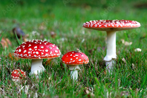 Red Amanita muscaria mushrooms in a forest Canvas Print