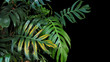 Monstera philodendron plant leaves growing in wild, the tropical forest plant, evergreen vine on black background.