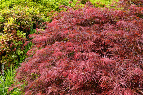 Red foliage of the weeping Laceleaf Japanese Maple tree