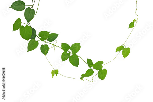 Heart shaped green leaf climbling vines isolated on white background heart shaped green leaf climbling vines isolated on white background clipping path included mightylinksfo