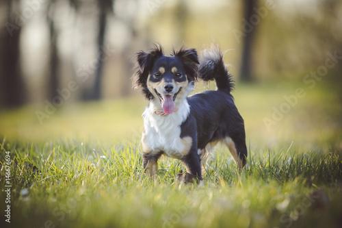 Foto Hund steht auf Wiese