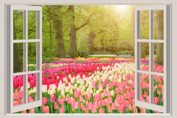FototapetaWindow with beautiful spring tulips flowers garden in Netherlands.
