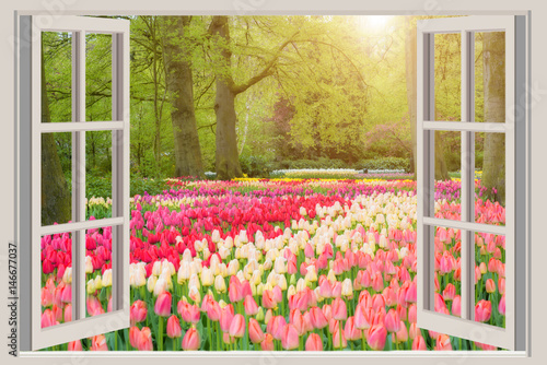 Window with beautiful spring tulips flowers garden in Netherlands.