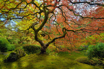 Plakat The Japanese Maple Tree in Spring