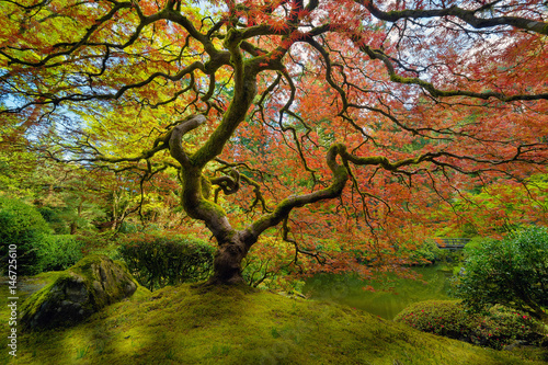 Fotografia  The Japanese Maple Tree in Spring