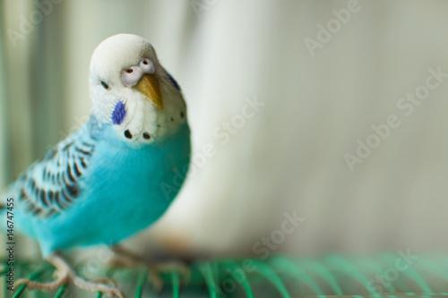 Wavy blue parrot
