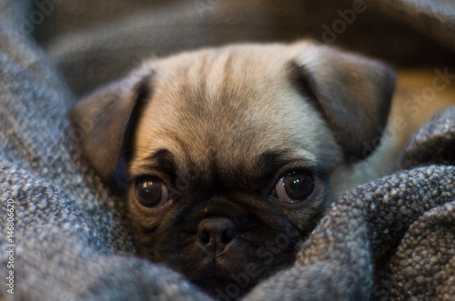 Fotomural eyes puppy