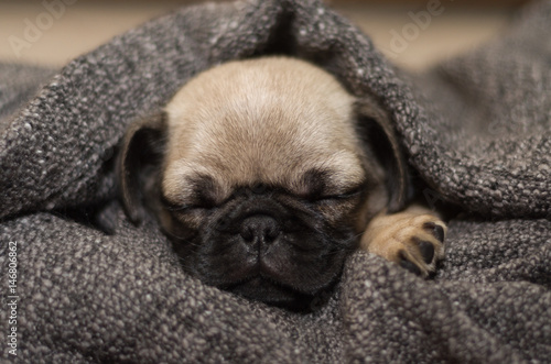 Fotomural Sleeping puppy 1