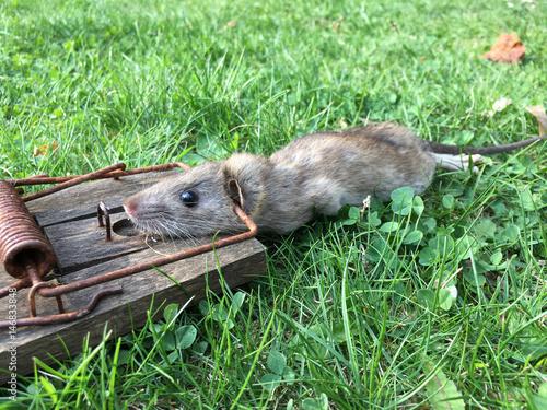 Tote Ratte – kaufen Sie dieses Foto und finden Sie ähnliche
