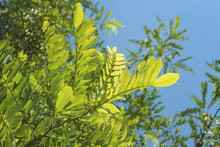 Acacia Leaves In Bright Sunlight