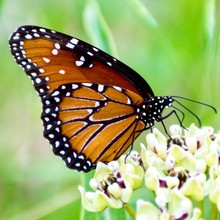 Queen Butterfly On Antelope Ho...
