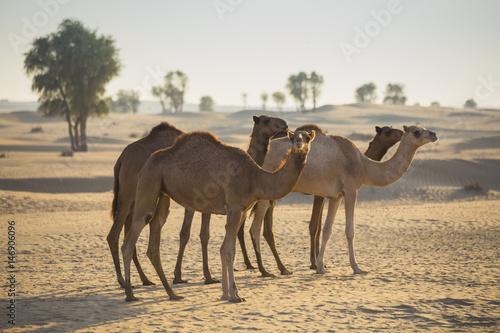 Spoed Foto op Canvas Desert landscape with camel