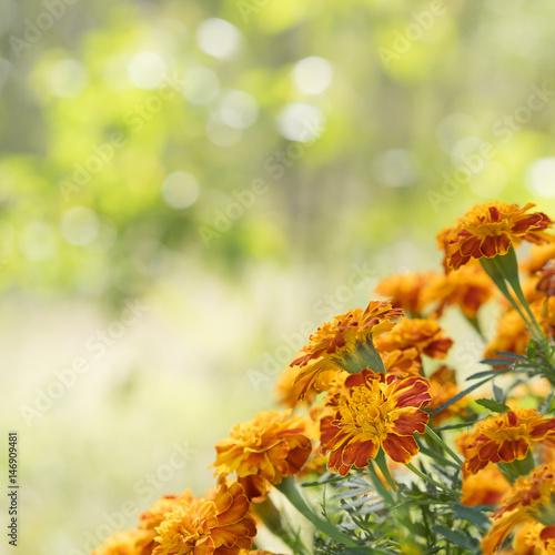 Zdjęcie XXL Jasny nagietek tle kwadratowy widok