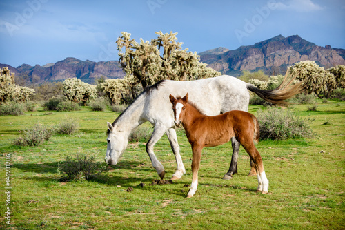 Fotografie, Obraz  White wild horse grazes while young colt looks into camera in front of the usuar