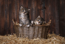 Cute Adorable Kittens In A Barn Setting With Hay