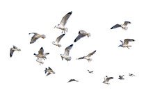 Ring-billed Sea Gulls Isolated...