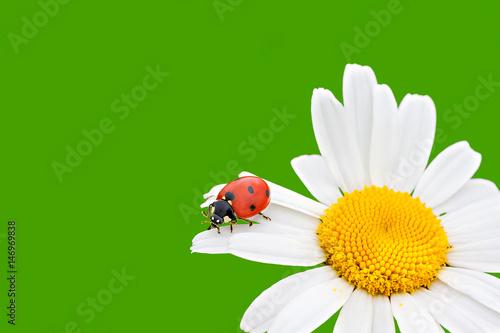 ladybug sits on a chamomile flower a close up