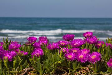 Obraz na SzkleFiori rosa sul mare di Pesaro