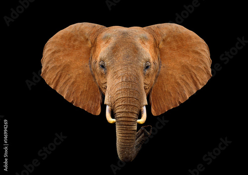 Poster Olifant Head elephant on a black background