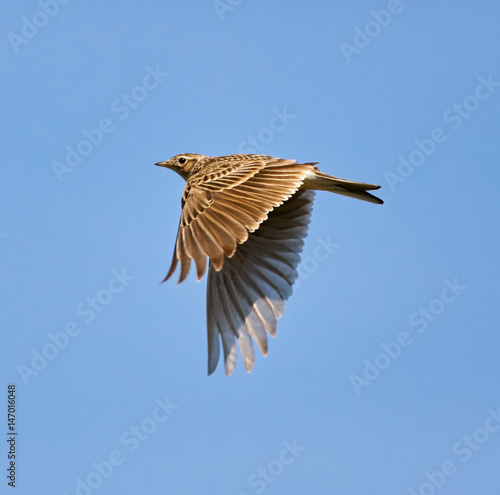 Fotografija Wood lark in flight