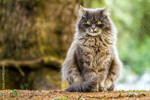 Arturo il gatto grigio Canvas Print