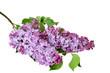 Lilac flowers (Syringa vulgaris) branch isolated on white background