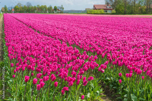 Pink tulips in Dutch field