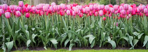 Beautiful flowers in Holland Tapéta, Fotótapéta