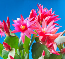 Red Flowers Of Schlumbergera, ...