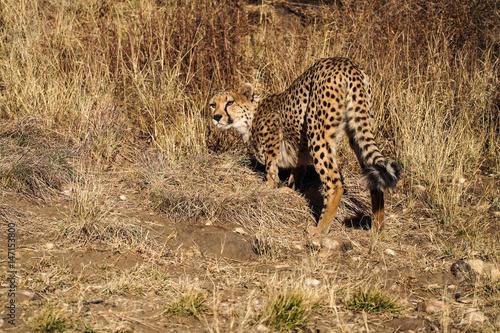 Fotografie, Obraz  Namibia - Gepard beim Game Drive