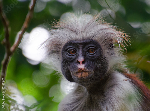 Recess Fitting Zanzibar Zanzibar red colobus