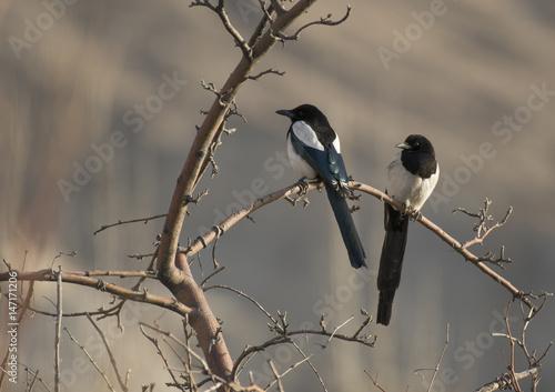 Canvastavla Eurasian magpie