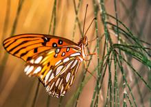 Gulf Fritillary Butterfly Landed On Australian Pine