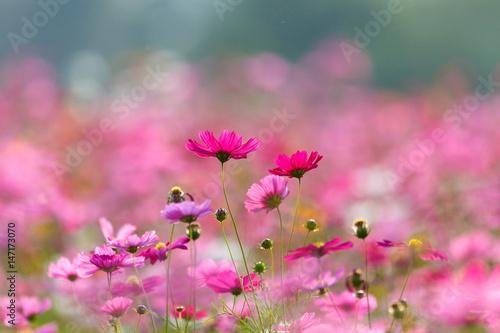 In de dag Candy roze Cosmos flower meadows,Cosmos,flowers cosmos of Singha Park Chiang Rai,Chiang Rai, Thailand.
